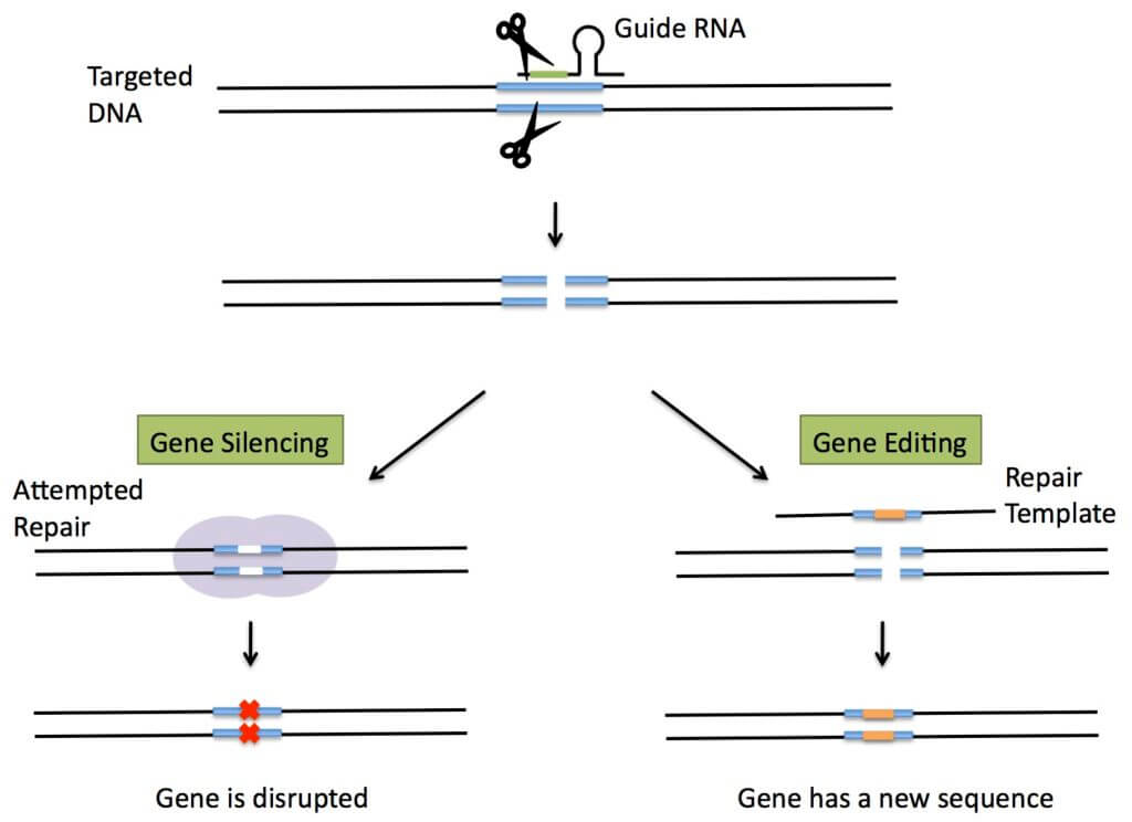 Gene silencing and editing with CRISPR. (Science in the News, Harvard)