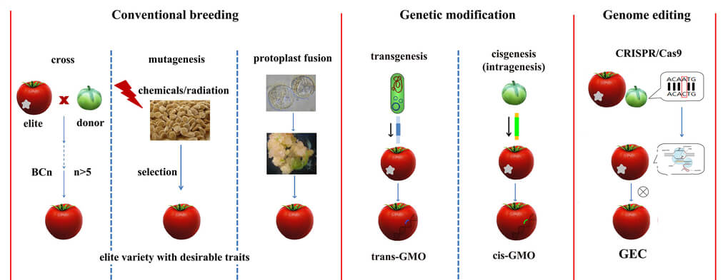 "Comparison of four breeding methodologies. Conventional breeding mainly relies on hybridation between a donor and a recipient line. The progeny is selected for the desired characteristic. To remove unwanted traits from donor plant, the best line of the progeny is obtained by backcrossing with recipient line. Transgenesis is the genetic modification of a recipient line with genes from other species which are sexually incompatible with the recipient plant. Cisgenesis is the genetic modification of a recipient plant transformed with a natural gene for a crossable plant. Genome editing is a type of genetic engineering in which DNA is directly inserted, replaced, or removed from a genome using engineered nucleases, the so called ""molecular scissors"", to obtain a desirable trait. BCn, backcross n generation; trans-GMO, transgenic-Genetically Modified Organism; cis-GMO, cisgenic-Genetically Modified Organism; GEC, genome-edited crops."